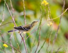 33-app1096-blackpoll-warbler-on-appledore