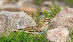 35-app1137-lark-sparrow-on-appledore