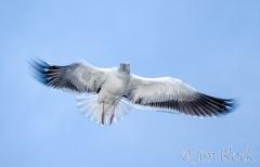 69-app330-great-black-backed-gull-on-appledore