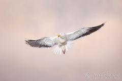 79-app405-great-black-backed-gull-on-appledore