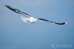 82-app479-great-black-backed-gull-on-appledore