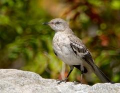 92-app2334-northern-mockingbird-juv-on-appledore