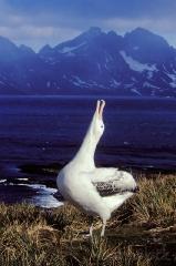 1266-wandering-albatross-calling