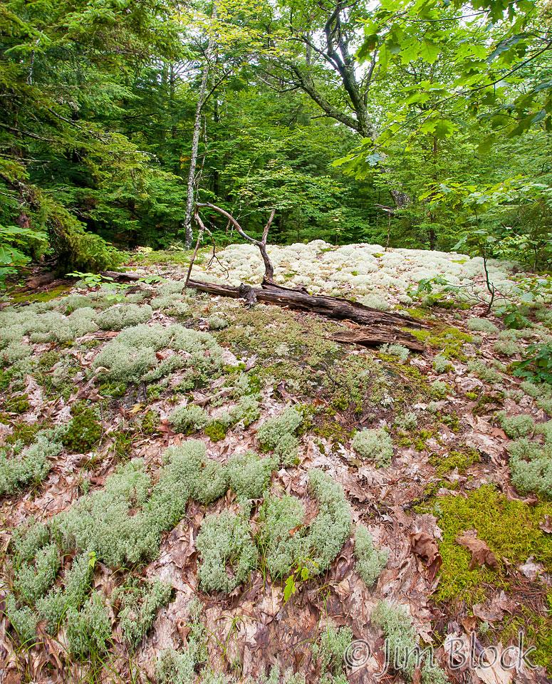 dl579-reindeer-lichen-pan-4