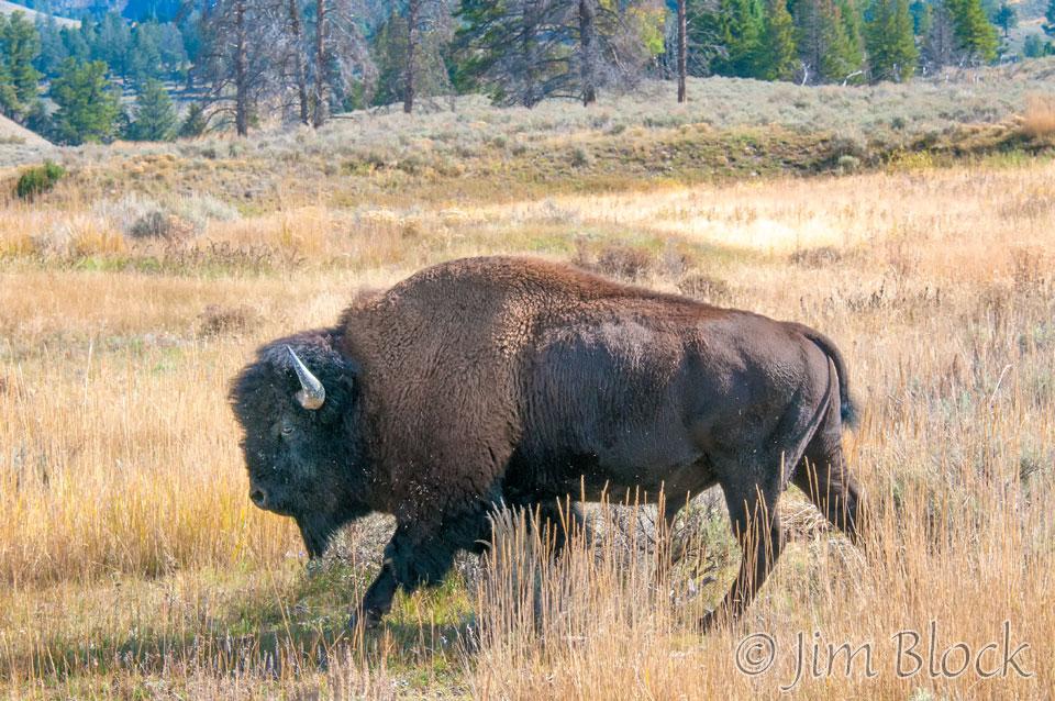 DX996H--Bison