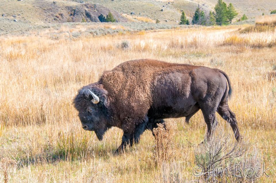 DX996M--Bison