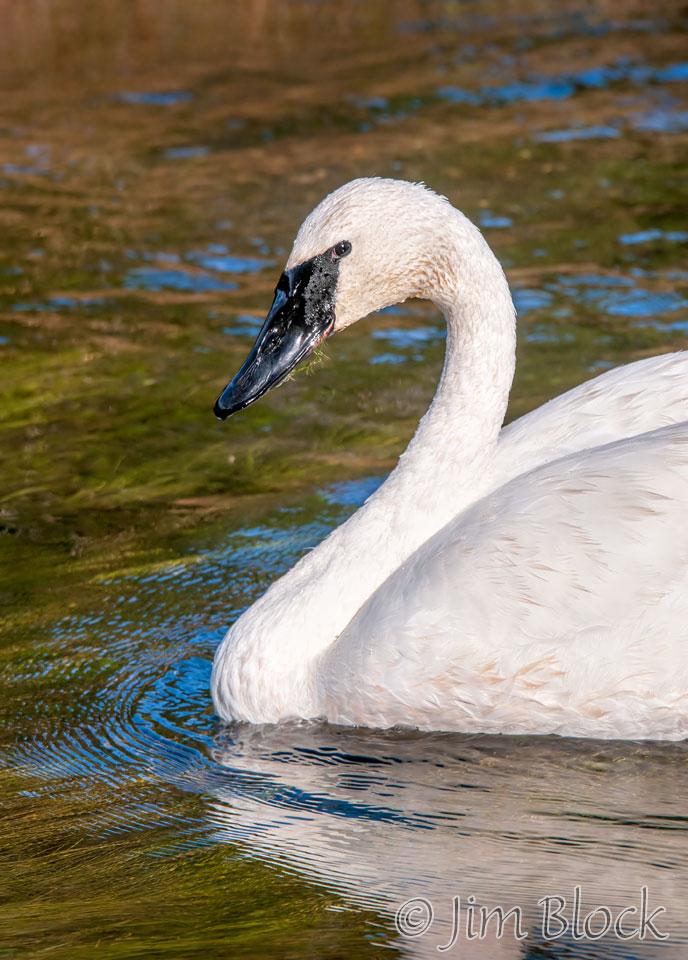 DY078J--Trumpeter-Swan