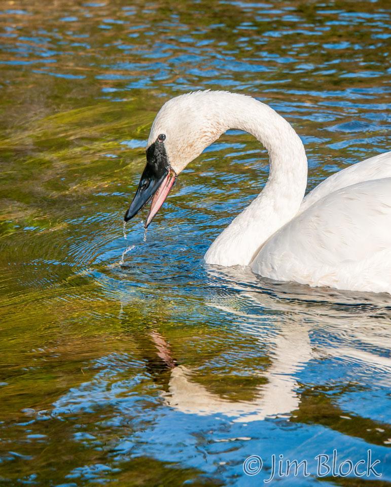 DY078U--Trumpeter-Swan