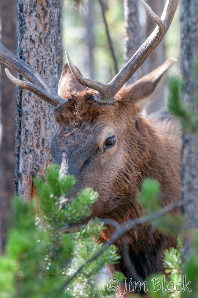 DY114A--Bull-Elk