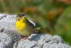 31-app1078-common-yellowthroat-on-appledore