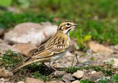 34-app1134-lark-sparrow-on-appledore