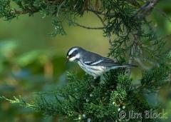 40-app1238-black-throated-gray-warbler-on-appledore