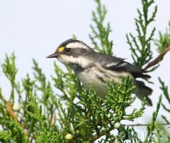 41-app1284-black-throated-gray-warbler-on-appledore