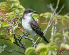 42-app1308-eastern-kingbird