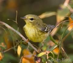 47-app1394-blackpoll-warbler-on-appledore