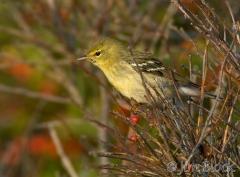 52-app1443-blackpoll-warbler-on-appledore