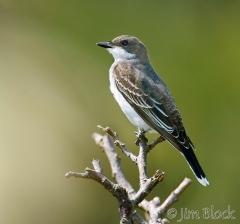 57-app1776-eastern-kingbird-on-appledore