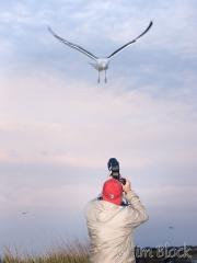 66-app367-fernando-with-great-black-backed-gulls-on-appledore