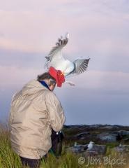 68-app369-fernando-with-great-black-backed-gulls-on-appledore