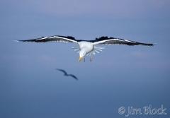 71-app352-great-black-backed-gull-on-appledore