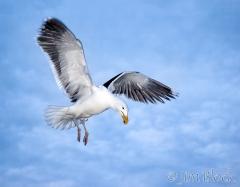 72-app354-great-black-backed-gull-on-appledore