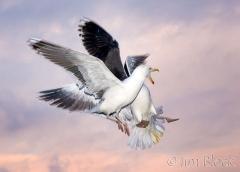 75-app382-great-black-backed-gull-on-appledore