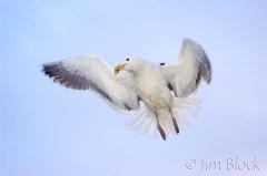 76-app386-great-black-backed-gull-on-appledore