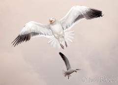 80-app421-great-black-backed-gull-on-appledore