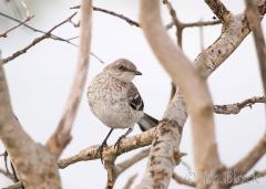 87-app2223-northern-mockingbird-juv-on-appledore