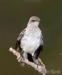 88-app2225-northern-mockingbird-juv-on-appledore