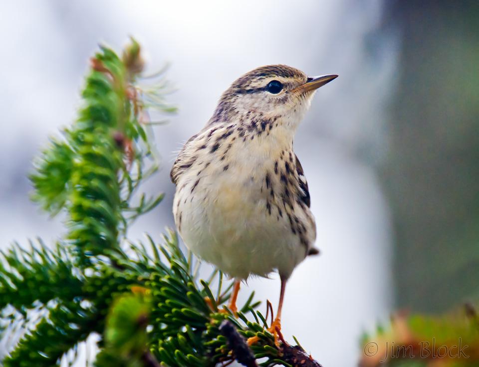35-cz240d-blackpoll-warbler