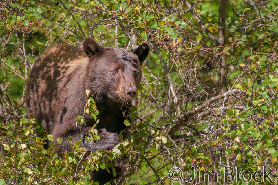 DX649A-Black-Bear-in-Tree