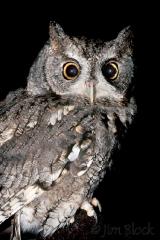 1008-screech-owl-1