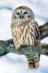 700-barred-owl-2
