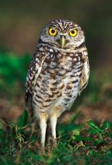 1160-burrowing-owl-5