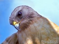 1162s-red-shouldered-hawk-2