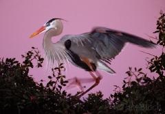 1199-great-blue-heron-before-sunrise