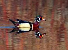 ar229-wood-duck