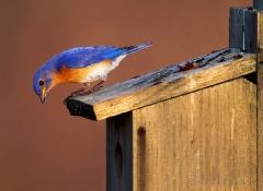 1273-bluebird-checking-young