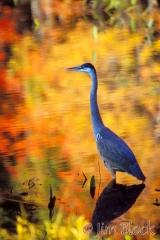 2014-great-blue-heron-at-eagle-lake-pk0-2