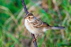 app1465-clay-colored-sparrow