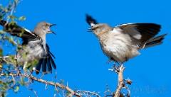 bs567-northern-mockingbirds