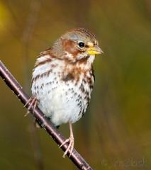ai358-fox-sparrow