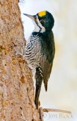 ck670-black-backed-woodpecker