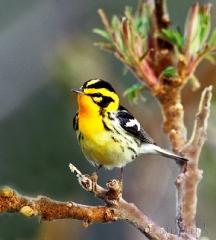 613-blackburnian-warbler
