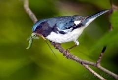 bc068-black-throated-blue-warbler