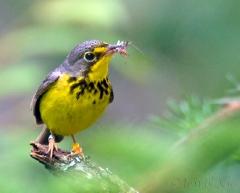 ca055-canada-warbler