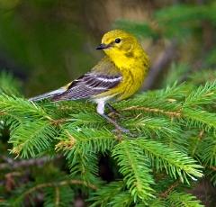 cc457-pine-warbler