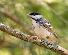 cm020f-blackpoll-warbler