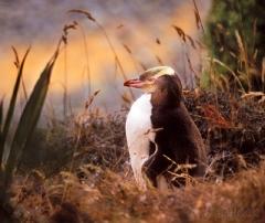 1230-yellow-eyed-penguin-2